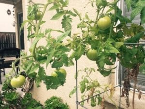 robs tomatoes 1