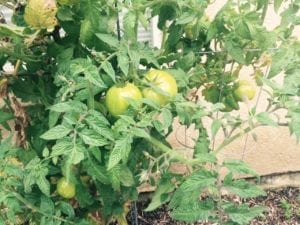 robs tomatoes 2