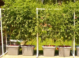 tomato-gardening